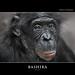 BASHIRA by Matthias Besant