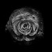 Backyard Flowers In Black And White 64 by thelearningcurvedotca
