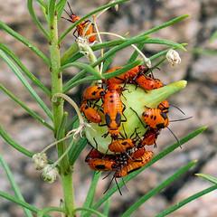 1809 Milkweed Bugs