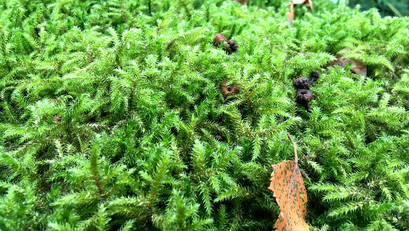 Moss on Knowle Wood Tor