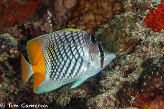 IMG_9383-Diving-090818-crosshatch butterflyfish- Chaetodon xanthurus.jpg