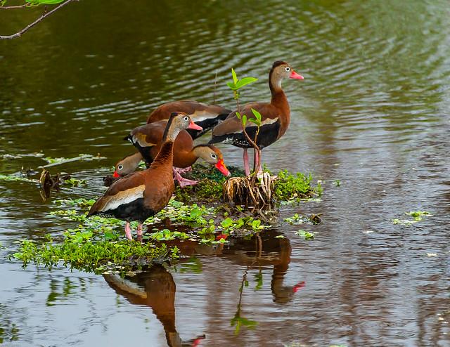 Black-bellied Whistling Ducks 5 (1 of 1)