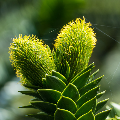 Greens: monkey puzzle flower, Codsall