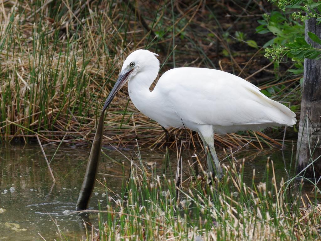 Sortie à la réserve ornithologique du Teich - 24 août 2018 - Page 2 30462964728_d20085eb7d_o