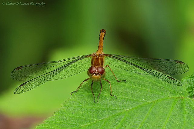 Autumn Meadowhawk Portrait, Nikon D810, AF Micro-Nikkor 200mm f/4D IF-ED