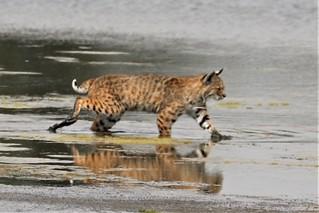Lynx rufus californicus Bobcat #9