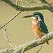 Fem Juv - Martin-pêcheur d'Europe - Alcedo atthis (Domaine Des Oiseaux, Ariège) 02 septembre 2018