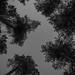 Treetops bw