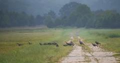 Turkeys on the Runway