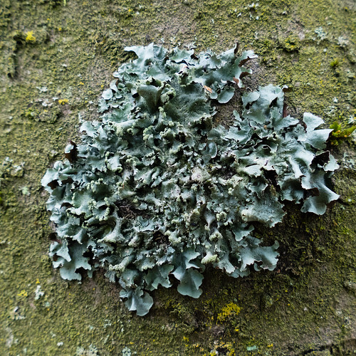 Crinkly lichen, Himley Plantation