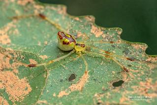Mirror spider (Thwaitesia sp.) - DSC_9373