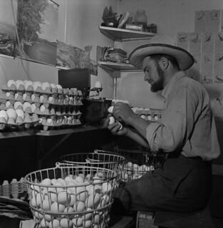 "Sam Kleinasser, ""Chicken Man"" of the Headingley Hutterite colony, Manitoba / Sam Kleinasser, « l'homme aux poulets », de la colonie huttérienne de Headingley (Manitoba)"