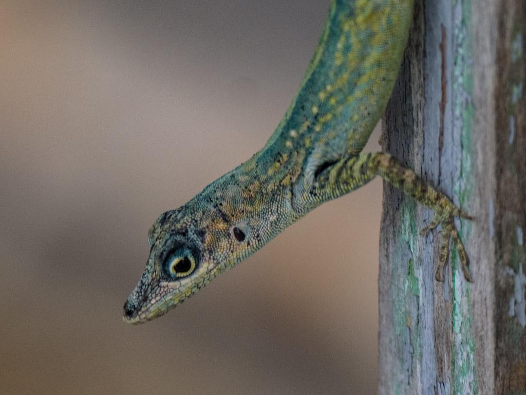 Le reptile gymnaste... 43484421155_fc652363cf_b