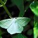Common Emerald (Hemithea aestivaria) 1/7