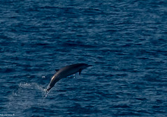 Bottle Nose Dolphins Getting some Air in the Bay Of Biscay, They were a few mile's away so not the Best Quality after Cropping ...