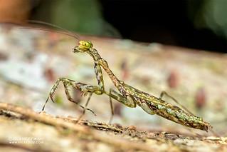 Mantis (cf. Liturgusella malagassa) - DSC_1704
