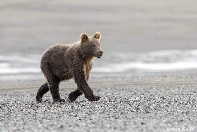 Brown bear cub, Canon EOS-1D X MARK II, Canon EF 600mm f/4.0L IS II USM