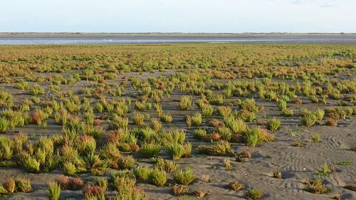 Marsh samphire fields at Boschplaat Terschelling
