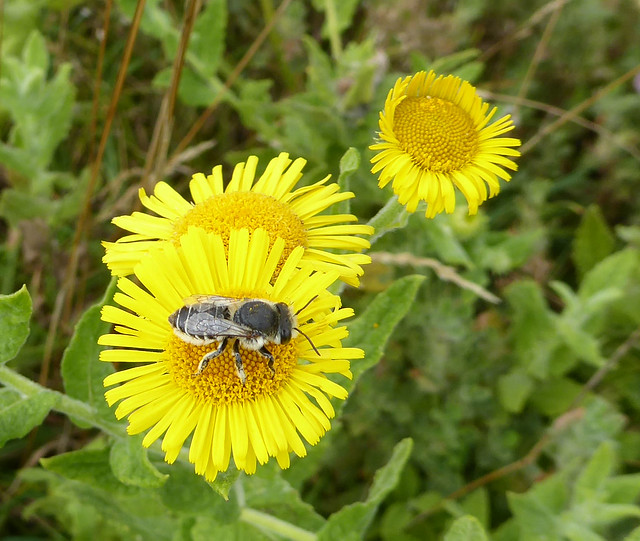 Solitary bee on fleabane at Dawlish Warren
