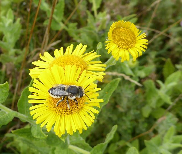 Solitary bee on fleabane at Dawlish Warren