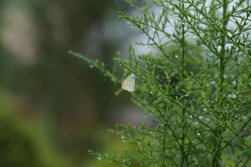 モンシロチョウ、雨に打たれる_201808