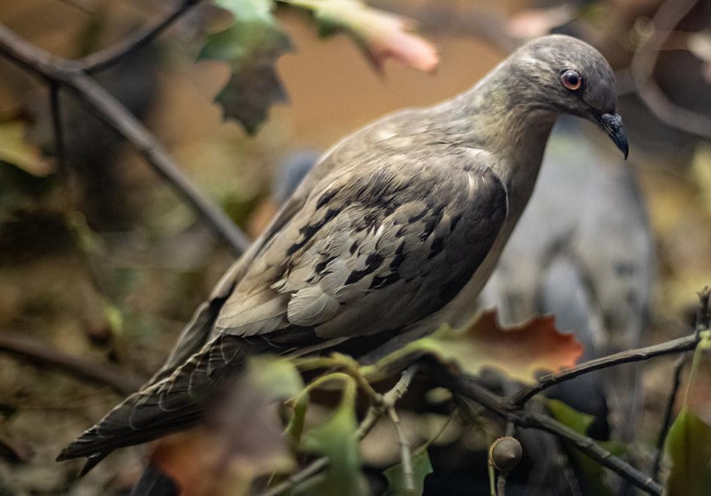 Passenger Pigeon_9