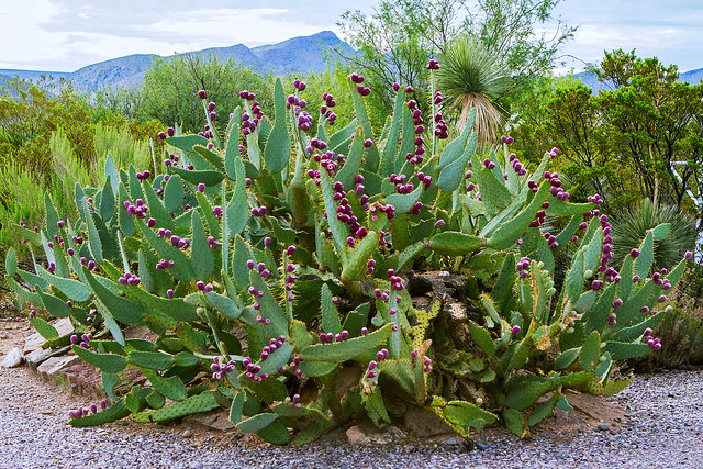Old-Cactus-22-7D1-082518