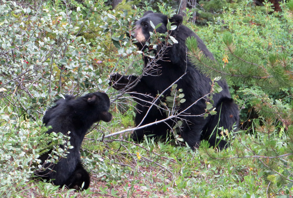 black-bears-banff-park