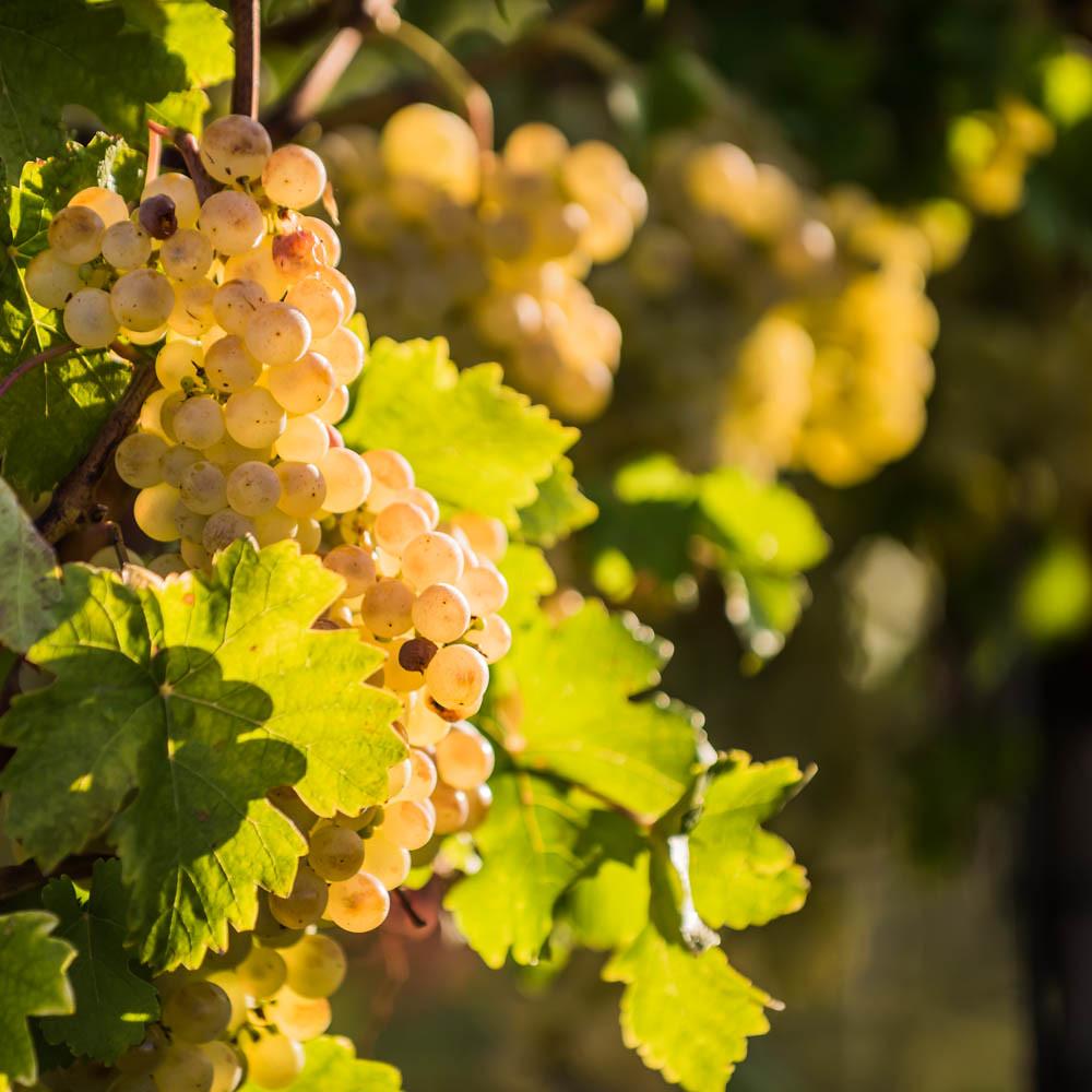 Weintrauben_weiß_057