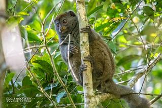 Eastern lesser bamboo lemur (Hapalemur griseus griseus) - DSC_1499