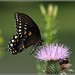 Spicebush Swallowtail (Papilio troilus troilus)... by pieceoflace photography
