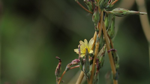Lactuca serriola - laitue sauvage, laitue scariole (scarole) 44641203452_6f499f97a4