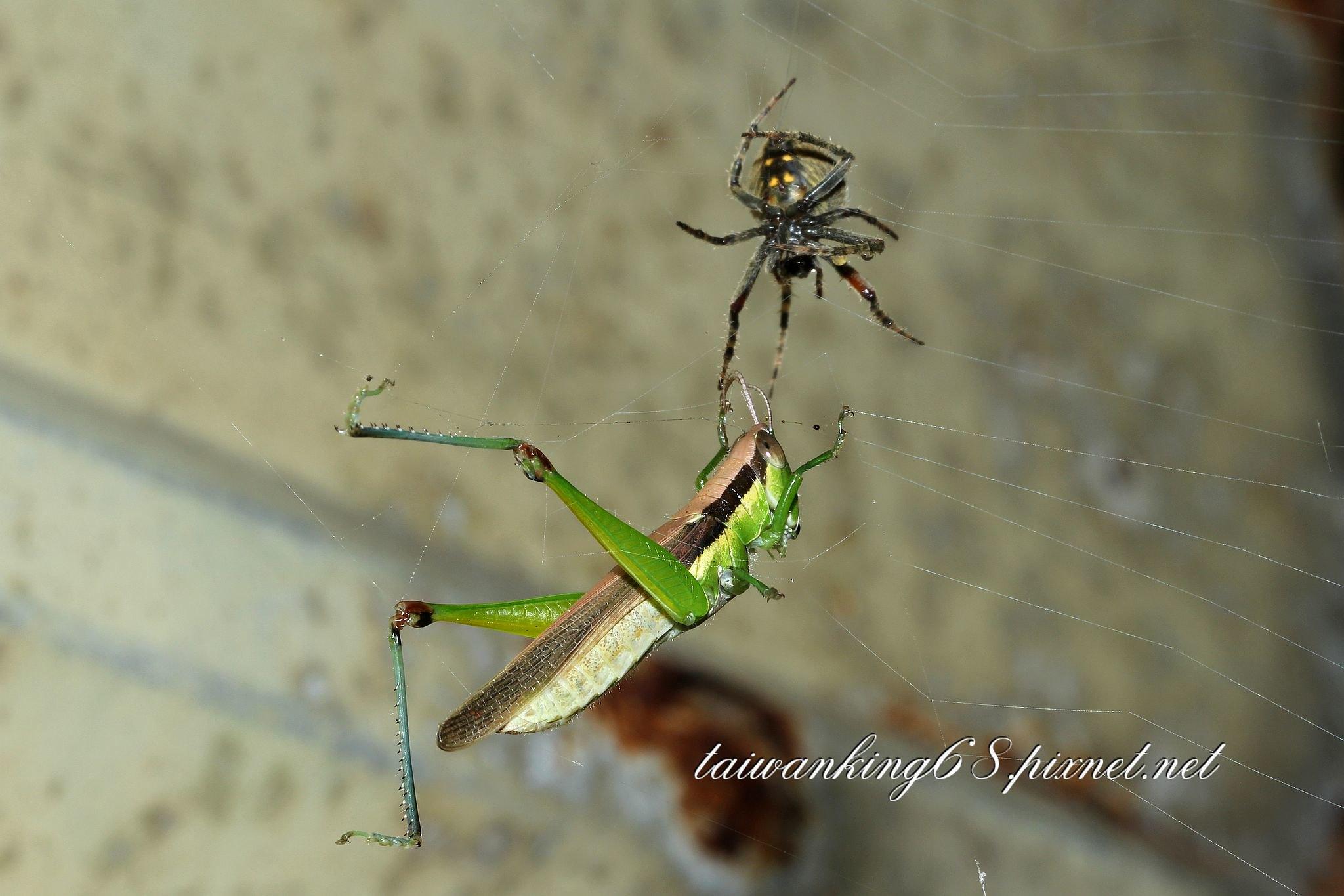 雌茶色姬鬼蛛捕獲一隻台灣稻蝗