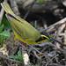Kentucky Warbler by Digital Plume Hunter