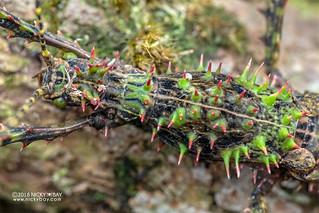 Thorny stick insect (Parectatosoma sp.) - DSC_0308