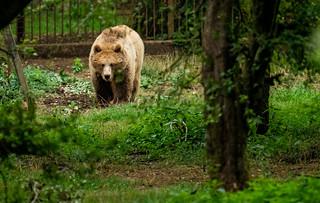 Brown Bear_3