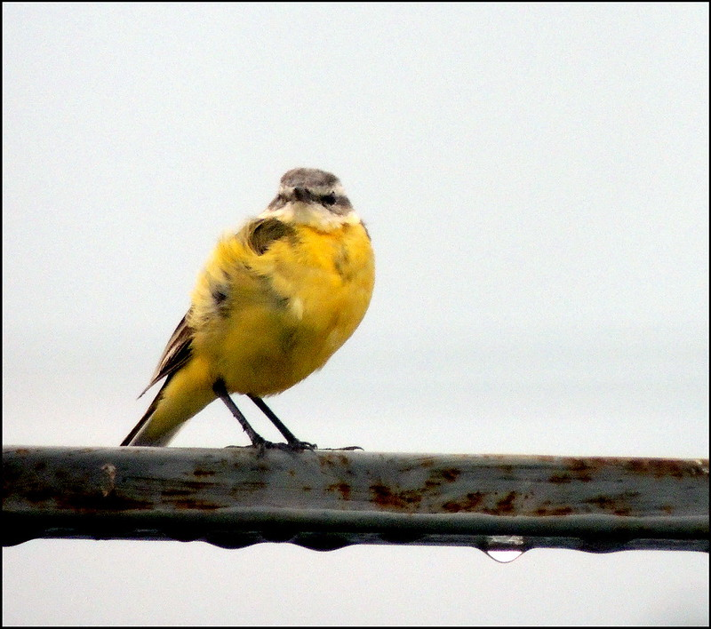 Касарги 8699 Желтая трясогузка.