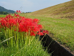 Red spider lilies (lycoris radiata, 彼岸花)