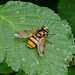 Hoverfly --- Volucella inanis
