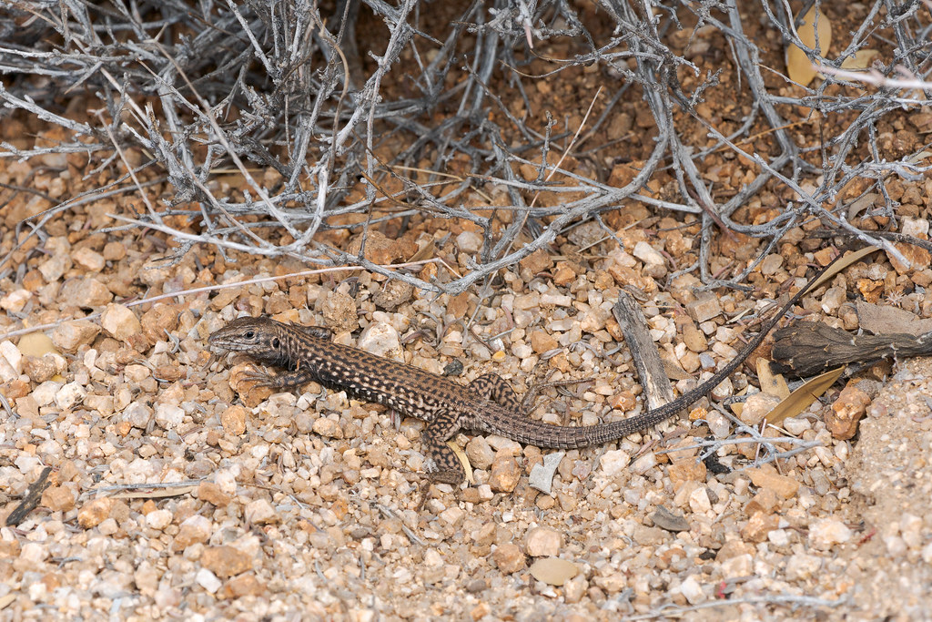 A tiger whiptail along the Hackamore Trail in McDowell Sonoran Preserve