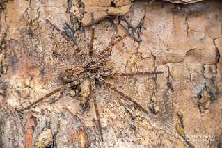 Wandering spider (Vulsor sp.) - DSC_2089