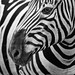 Striped by mhoffman1