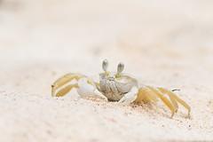 Crab @ Cayo Jutias