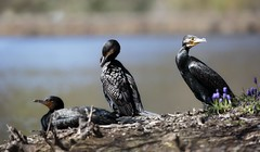 The Great Cormorants are enjoying the sunlight.
