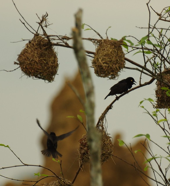 Yellow-eyed Weaver, Mboko Camp, , Odzala-Kokoua National Park, Congo Republic  IMGP4409