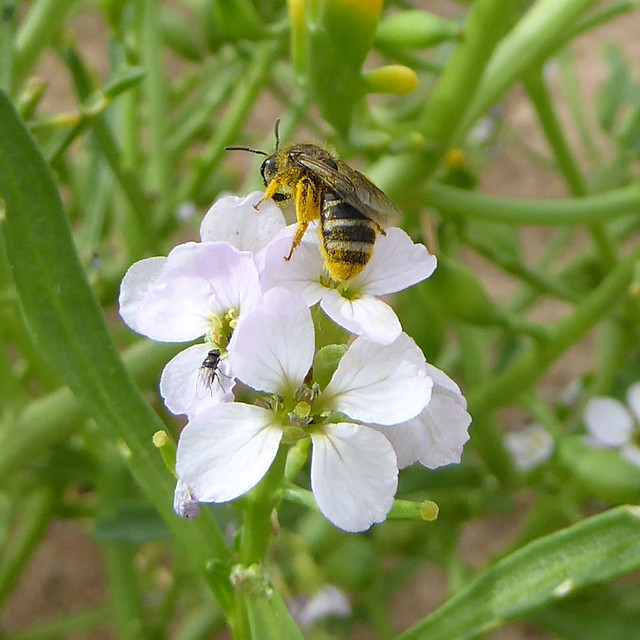 Solitary bee on sea rocket at Dawlish Warren
