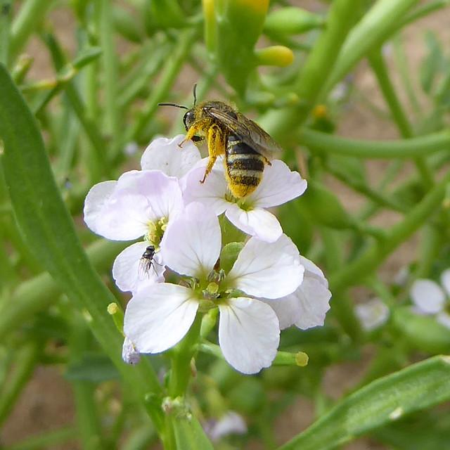 Solitary bee on sea rocket at Dawlish Warren