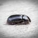 Dung Beetle sp. - Aphodius fossor