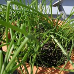 chives planting in The Deck by shiny