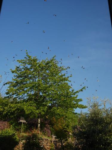 les visiteurs à plumes sauvages - 3 - Page 3 43761885995_254e2e6f5a